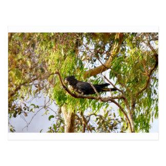 BLACK COCKATOO RURAL QUEENSLAND AUSTRALIA POSTCARD