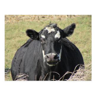 Black Cow Postcard