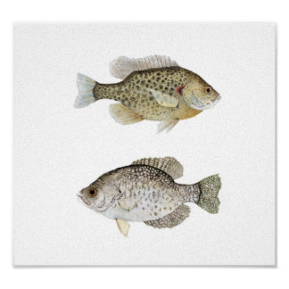 Black Crappie & Redear Sunfish Poster