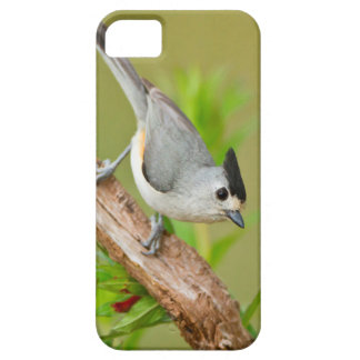 Black-Crested Titmouse Case For The iPhone 5
