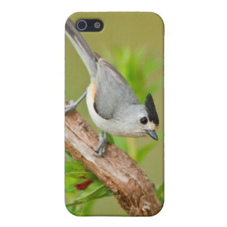 Black-Crested Titmouse Cover For iPhone 5/5S