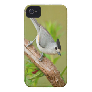 Black-Crested Titmouse iPhone 4 Case