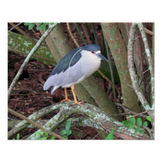 Black-Crowned Night-Heron with Breeding Plume Poster
