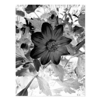 Black Dahlia Flower Postcard