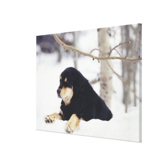 Black dog lying in snow stretched canvas print