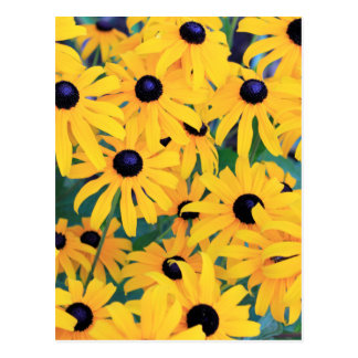 Black Eyed Susan Flowers in Deep Yellow Postcard