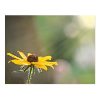 Black Eyed Susan Postcard