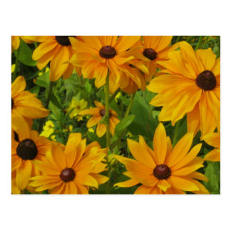 Black-eyed Susans Postcard