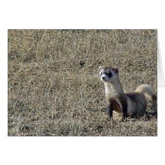 Black-Footed Ferret Cards