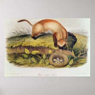 Black-footed Ferret Poster