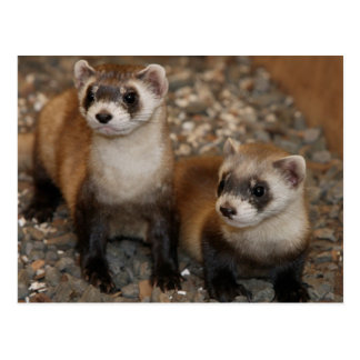 Black-Footed Ferret Wildlife Series # 7 Postcard