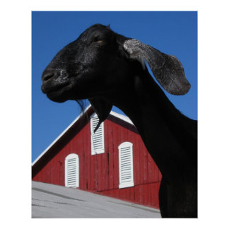 Black goat and red barn poster