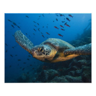 Black Green Turtle Chelonia agassizi off Posters