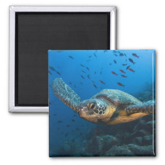 Black (Green) Turtle (Chelonia agassizi) off Square Magnet