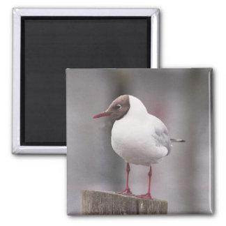 Black headed gull magnet