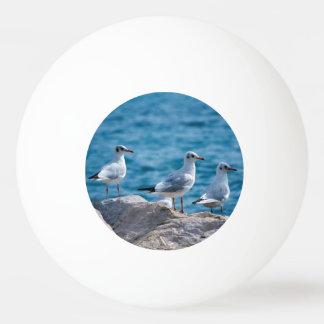 Black-headed gulls, chroicocephalus ridibundus