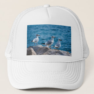 Black-headed gulls, chroicocephalus ridibundus cap