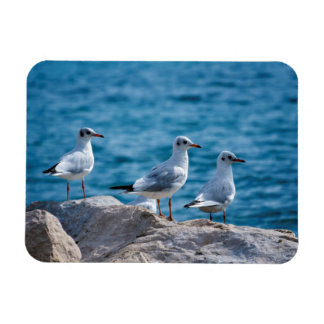 Black-headed gulls, chroicocephalus ridibundus magnet