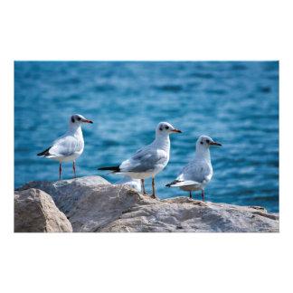 Black-headed gulls, chroicocephalus ridibundus stationery