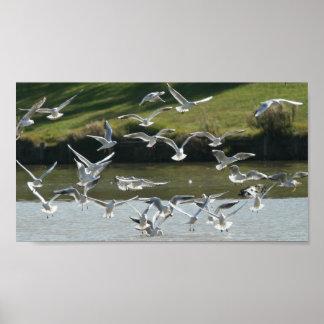 Black-headed Gulls Poster