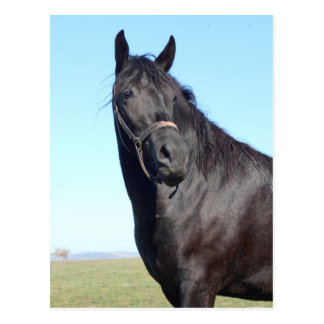 Black Horse And The Blue Sky Postcard