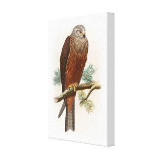 Black Kite Hawk John Gould Birds of Great Britain Canvas Print