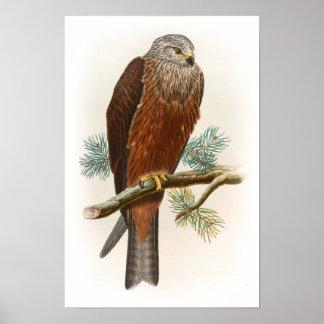 Black Kite Hawk John Gould Birds of Great Britain Poster