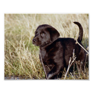 Black Lab Puppy Poster