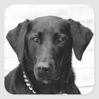 Black Lab Square Sticker