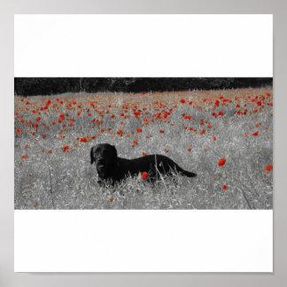 Black Labrador among the poppies print