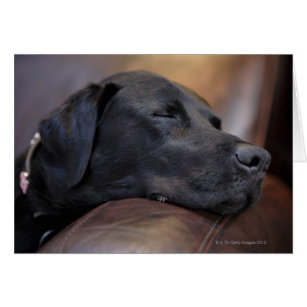 Black labrador asleep on sofa, close-up