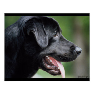Black Labrador Dog Poster