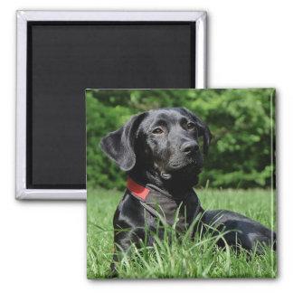 Black Labrador Magnet