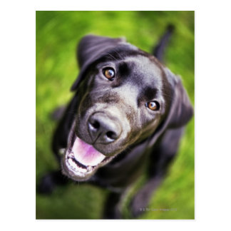 Black labrador puppy looking upwards, close-up postcard