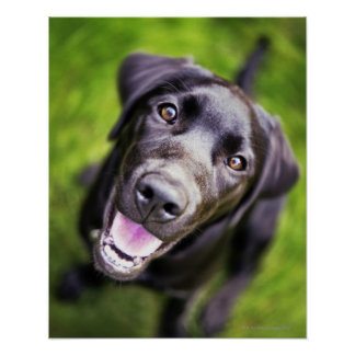 Black labrador puppy looking upwards, close-up poster