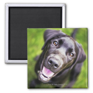 Black labrador puppy looking upwards, close-up square magnet
