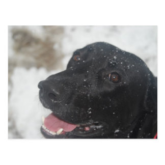 Black Labrador Retreiver Profile in Winter  Postca Postcard