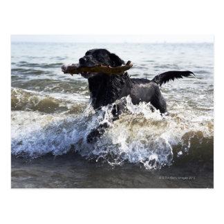 Black Labrador retriever running through surf Postcard