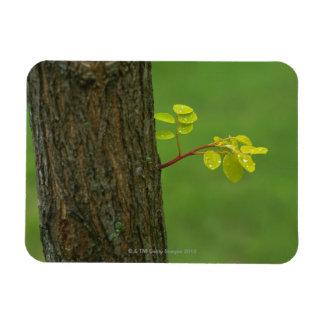 Black locust tree growing a new branch magnet