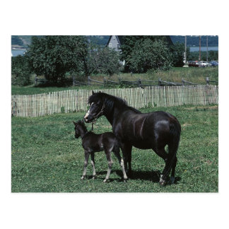 Black Mare and Foal Postcard