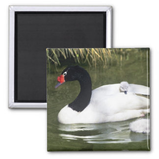 Black-necked swan adult and cygnets in water. square magnet