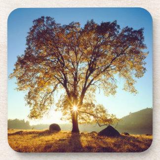 Black Oak Trees | Cleveland National Forest, CA Coaster