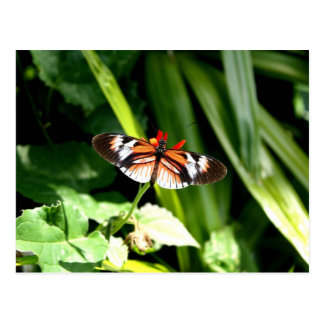 Black, Orange and White Butterfly Postcard