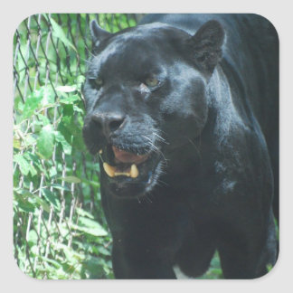 Black Panther Cat  Stickers