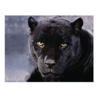 Black Panther Up Close Postcard