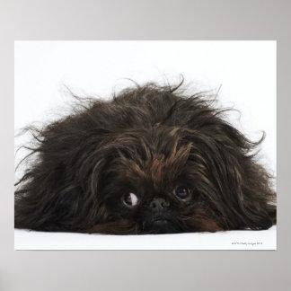 Black Pekingese dog lying down Poster