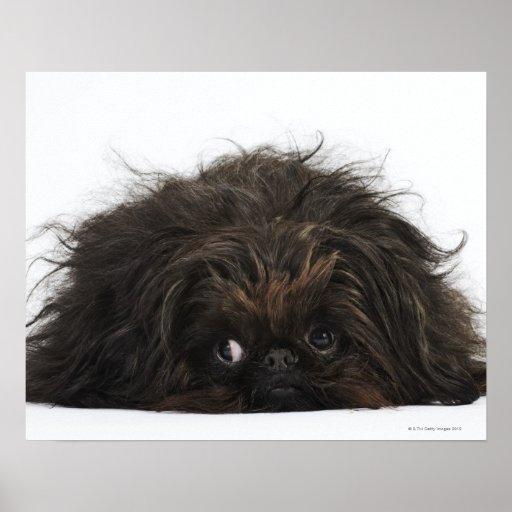 Black Pekingese dog lying down Posters