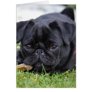 black pug laying