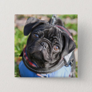 Black Pug Puppy Wearing A Jacket 15 Cm Square Badge
