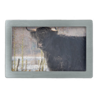 Black scottish highlander cow in winter snow belt buckle